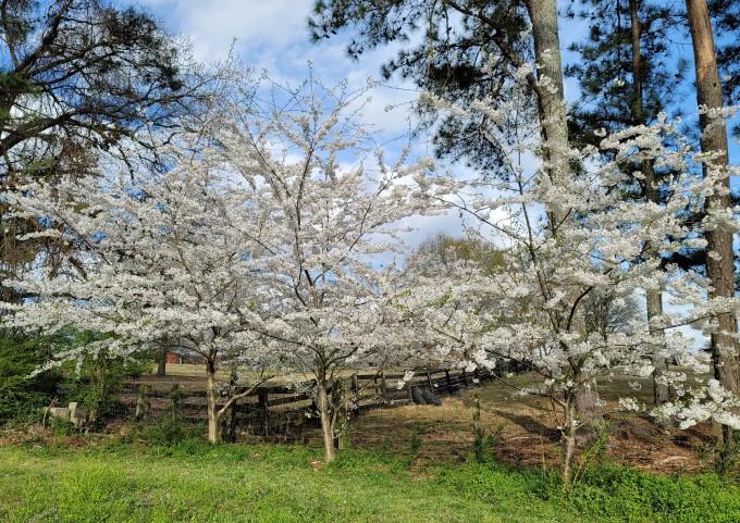 又到樱花盛开的季节
