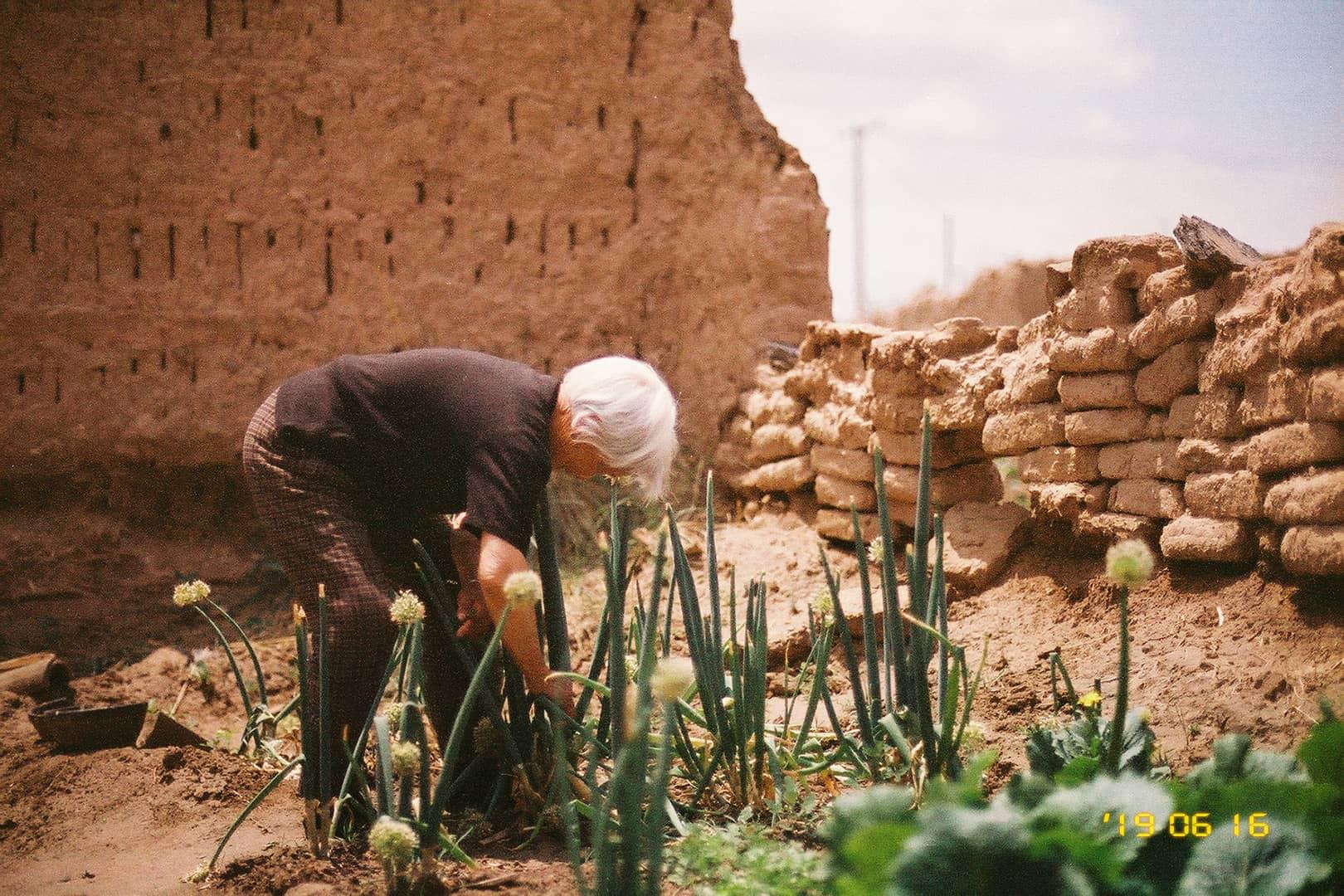 摘葱叶的老人