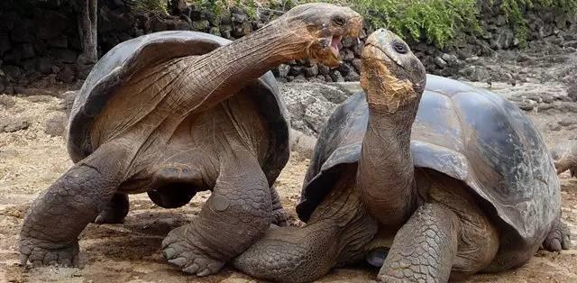 两只陆龟在嘿嘿嘿
