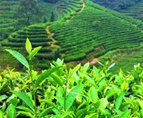 茶树的样子真好看