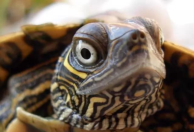 地图龟瞪着眼睛的图片