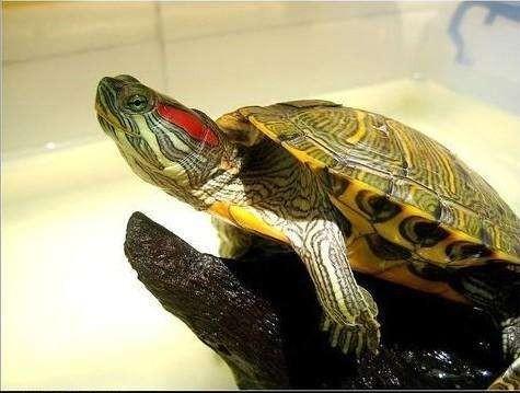 一只巴西龟的图片真可爱