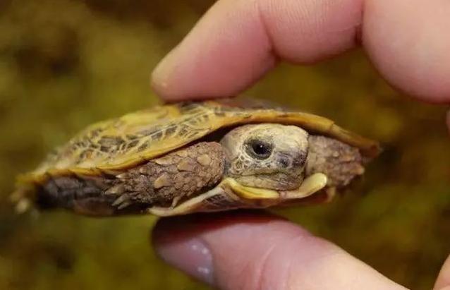 一只在手上的小饼干陆龟的图片