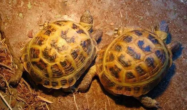 晒着紫外线UVB的面包龟图片
