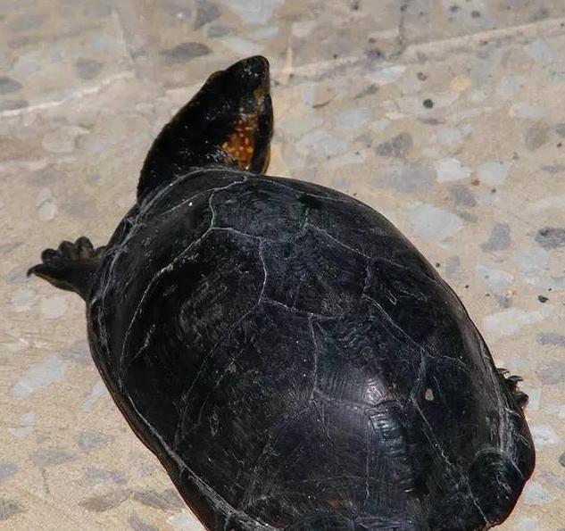 蝎泽泥龟在地上的图片