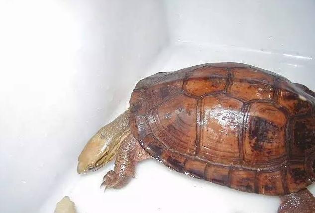 艾氏拟水龟背甲的图片