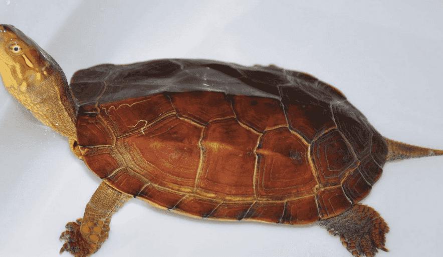腊戌龟的图片