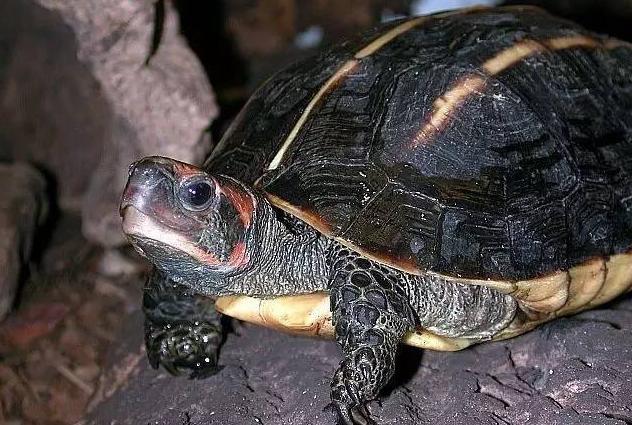 一只不知道是什么龟的图片