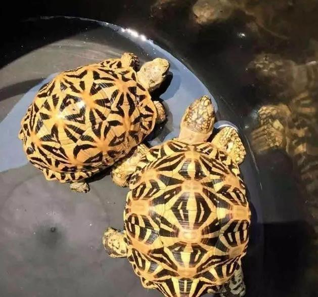两只印度星龟在泡水的图片