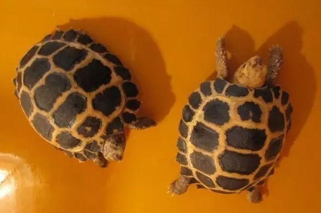 西里贝斯陆龟的图片