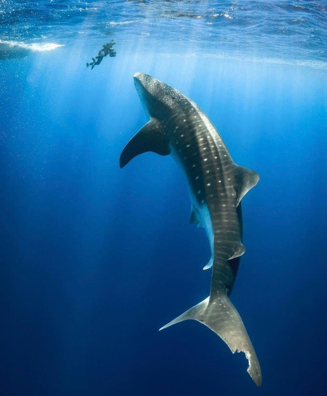 一条鲸鲨和一名潜水员同框,鲸鲨的尾巴还被咬了一口