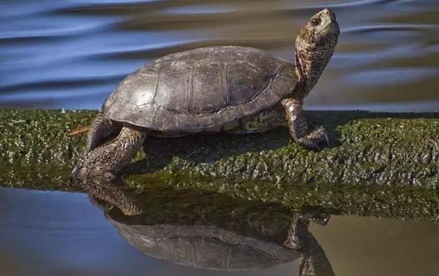 一只西部池龟晒太阳的图片