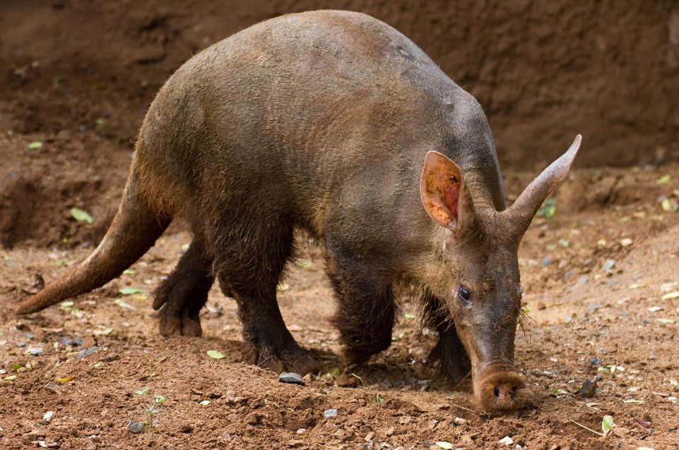 土豚走来走去想挖洞的图片