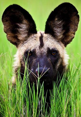 一只非洲野狗的照片